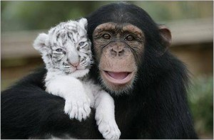 LE BO, LE TENDRE ET L' EPATANT Bébé-tigre-maman-chimpanzé-2-300x197